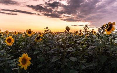 Storm Clouds and Sunflowers